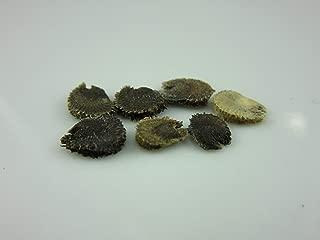 French Hollyhock (Malva sylvestris VAR. zebrina) Seeds by Robsrareandgiantseeds UPC0764425788379 Non-GMO,Organic,USA Grower,Bonsai,Mallow,Cottage Gardens,1192 Package of 7 Seeds