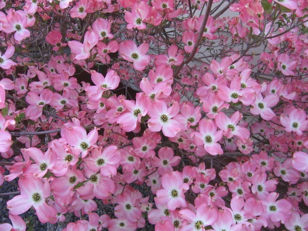 5 Flowering PINK DOGWOOD Cornus TREE Seeds by Seedville
