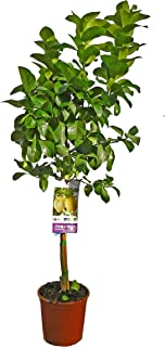 comprar comparacion Planta de fruta de Botanicly – Limonero – Altura: 90 cm – Citrus Limon