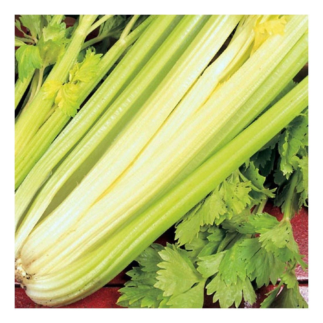 PREMIER SEEDS DIRECT - Celery - Golden SELF BLANCHING - 2GM ~ 6000 Seeds