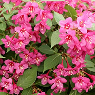 Pixies Gardens (1 Gallon Pink Weigela Tons of Pink Flowers Old Traditional Favourite Gallon Size