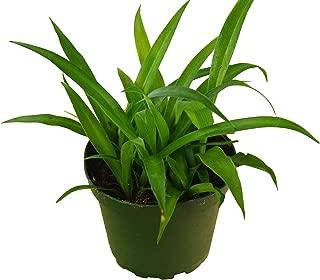 Spider Plant 'Hawaiian' - 4
