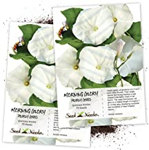 Seed Needs, Pearly Gates Morning Glory (Ipomoea Tricolor) Twin Pack of 75 Seeds Each