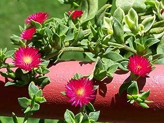 15 SEEDS Aptenia cordifolia, Red Apple Ground Cover Iceplant Cactus Baby Sunrose