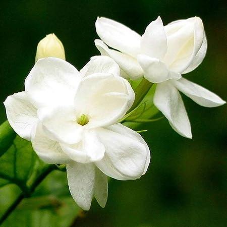 Semillas Las semillas del jazmín árabe, 100 piezas de jazmín fragante Landscaping decoración en blanco Bloom aromáticas plantas de semillero de la flor por Ideal jardinería regalo al aire libre