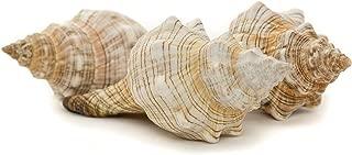 Striped Fox Sea Shell   3 Striped Fox Conch Sea Shells   4-5