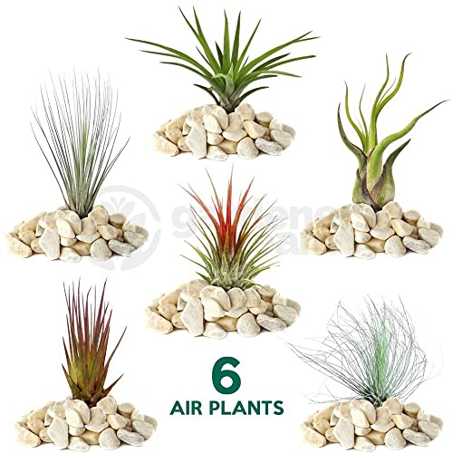 Air Plants Amazon Co Uk
