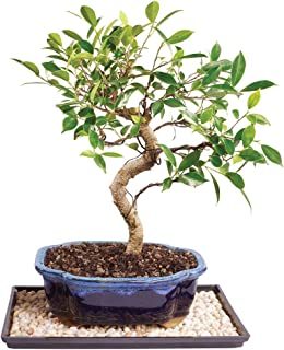 Brussel's Bonsai CT2006GGFT10 Brussel's Golden Gate Ficus Bonsai - Medium (Indoor) with Humidity Tray & Deco Rock