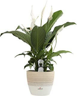 Costa Farms Spathiphyllum Peace Lily Live Indoor Plant in Premium Scheurich Ceramic Planter, 15-Inch, as Gift