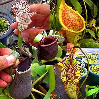 nulala 50 piezas Nepenthes semillas de plantas, Nepenthes plantas carnívoras Comer Mosquito Insectos Jardín Flores Bonsai (semillas de Nepenthes de cinco estilos mezclados)