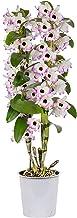 Dendrobium nobile Lucky Bird | Orchidee | Roze wit | Hoogte 50-60cm | Pot - Ø12cm