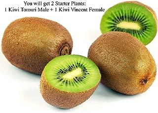Set of 2 Starter Plants, Tomuri Male and Vincent Female Kiwi Plant, Kiwi Actinidia Fruit Tree Vine