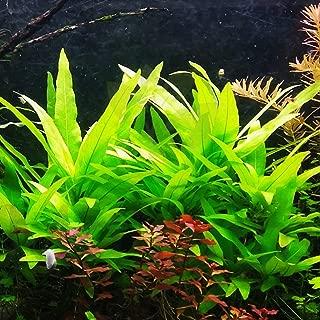 hygrophila aquarium plant