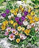 Blumenzwiebeln Krokus Mix Ø 5