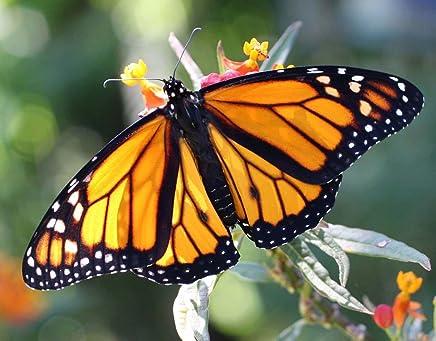 4.4g Common Milkweed Seeds ~600ct ~Attract Monarch Butterflies /& Pollinators