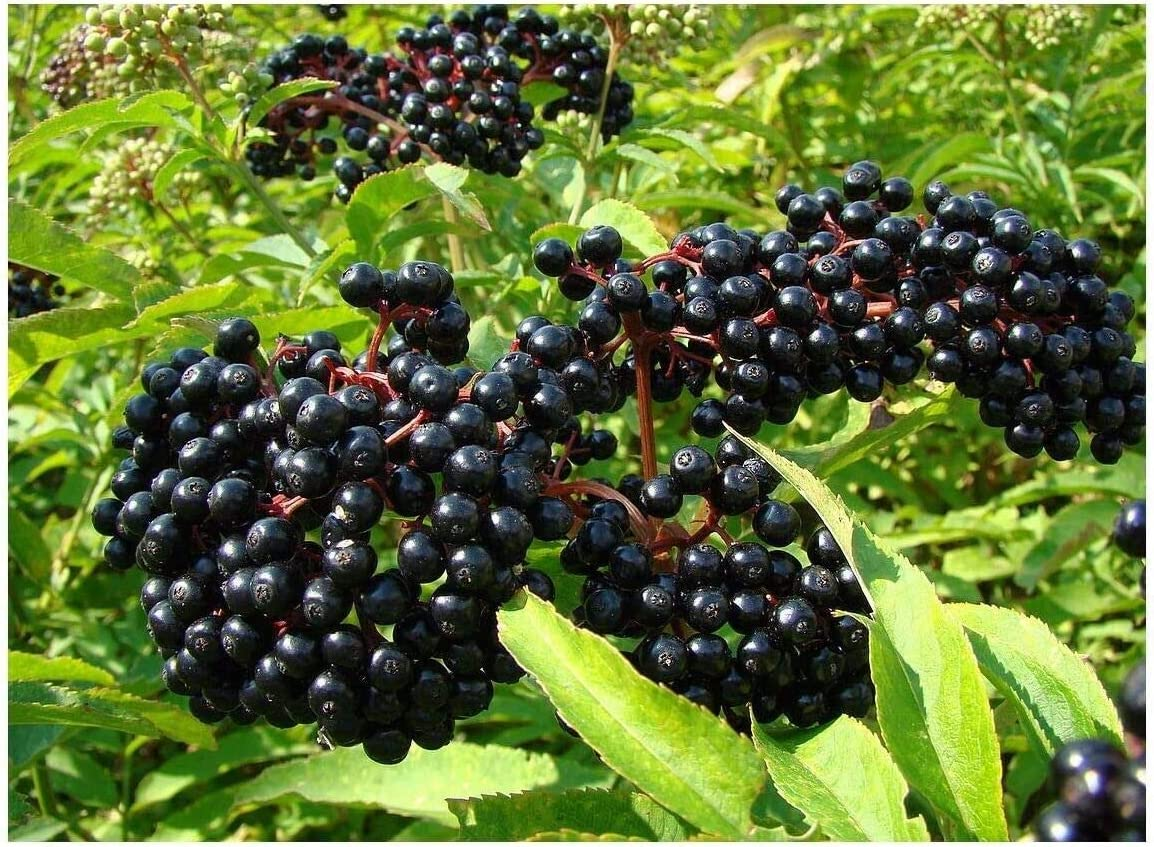 Max 64% OFF 7 Adams Elderberry Unrooted Cuttings Native American OFFicial store Black Fr