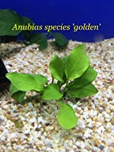anubias species golden