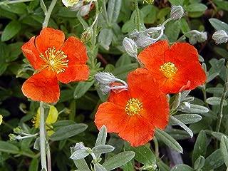 helianthemum henfield brilliant