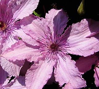 "SmartMe Live Plant - Clematis Hagley Hybrid (Pink Chiffon) Vine - 2.5"" Pot - Flowering Plant"