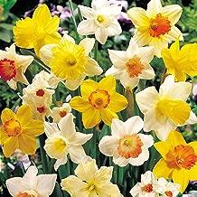 Best narcissus spring sunshine Reviews
