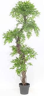 japanese spiral tree