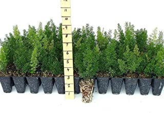 Foxtail Fern - 10 Live Plants - Asparagus Densiflorus 'Myers' - Tropical Groundcover Foliage