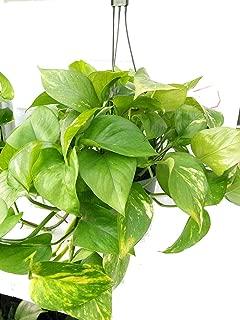 Plant Golden Devil's Ivy Epipremnum Pothos Hanging 6