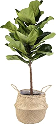Costa Farms Live Ficus Lyrata, Fiddle-Leaf Fig, Indoor Tree, 4-Feet Tall, Ships in Seagrass Basket, Natural, Fresh From Our Farm