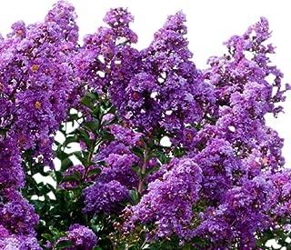 Twilight Purple Crape Myrtle Seeds UPC 600188194463 + 2 Free Plant Markers (400)