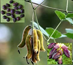 SS Naturals<>Cowitch Raw Black,Mucuna Pruriens, Bengal Velvet Bean, Cowitch Raw Black,Florida Velvet Bean,Lacuna Bean,Lyon Bean Trellis,Fence Plant Seeds, 20+ Seeds for Growing