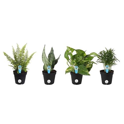 e0c63ba37e0 Costa Farms Clean Air - O2 For You Live House Plant Collection
