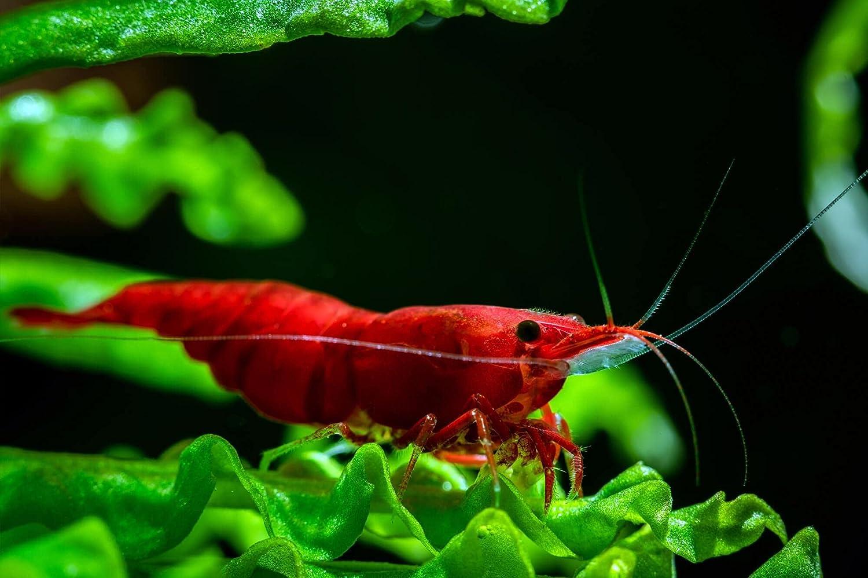Nanobibi 20+ Fees free!! Bloody Mary - New popularity Shrá» Freshwater Aquarium Neocaridina