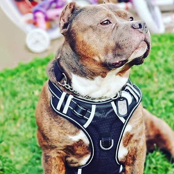 BABYLTRL Big Dog Harness   Amazon