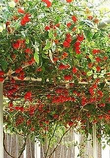 Heirloom NON GMO Giant Italian Tomato Tree 25 Seeds