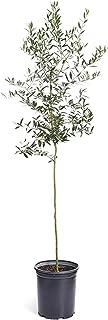 Best dwarf olive tree Reviews
