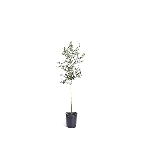 Olive Tree Amazon Com