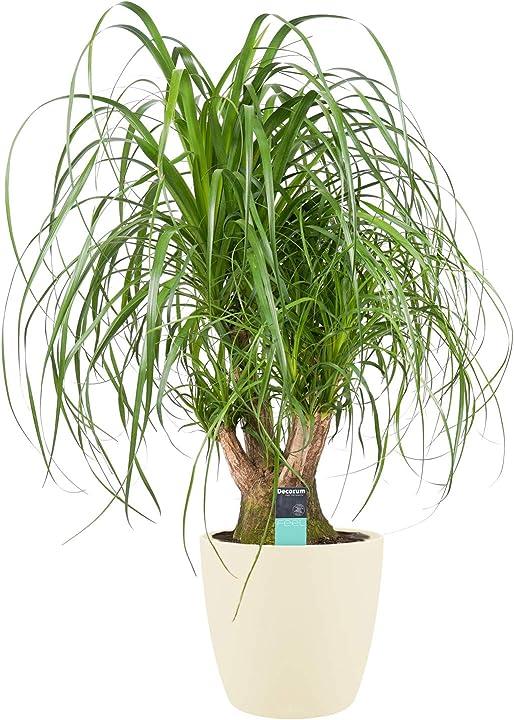 Pianta d`appartamento da botanicly – nolina in vaso crema come set – altezza: 79 cm – beaucarnea recurvata B08JV9V8X8
