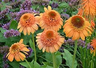 VISTARIC Echinacea 'Supreme Cantaloupe' Flower Seeds, 50 Seeds/Pack, Orange Red Coneflower KK049