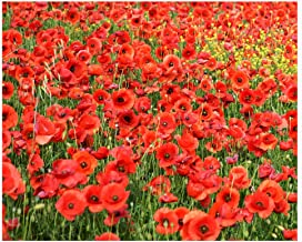 Red Flanders Poppies - 100,000 Poppy Seeds