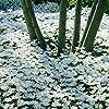 Humphreys Garden Anemone Blanda White x 20 Bulbs bulbi da fiore Size 5/6 #1