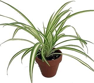 Ocean Spider Plant - 4