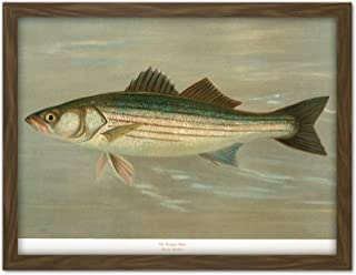 Petrie North American Fishes Striped Bass Illustration Artwork Framed Wall Art Print 18X24 Inch