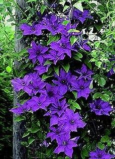 "The President Clematis Vine - Deep Purple - 2.5"" Pot"