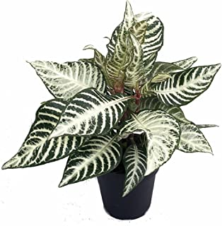 Snow White Zebra Plant - Aphelandra - Exotic & Unusual House Plant - 4