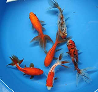 live fancy goldfish for sale