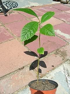 Japanese Plum LOQUAT FRUIT TREE Seedling Plant Succulent Sweet