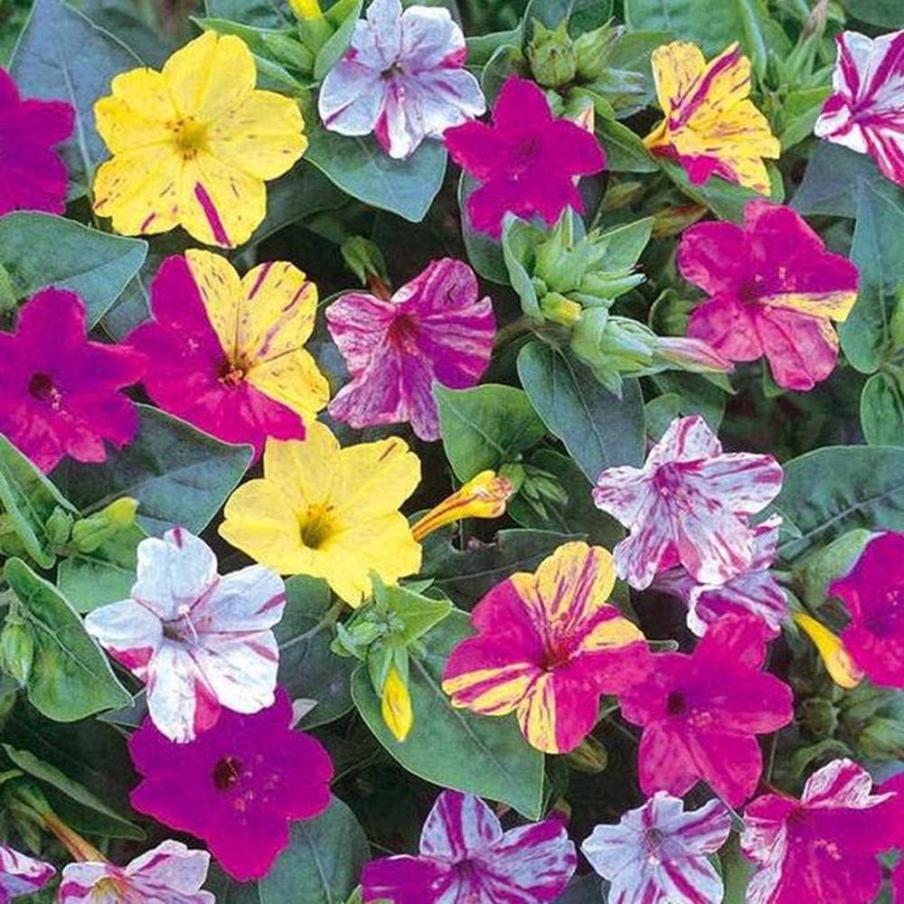 Charm4you Planta Maceta Semillas,Jazmín al Aire Libre balcón jardín semilla-jazmín Rojo 250g,Maceta para Plantas de jardín/Interiores