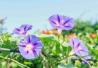 Asklepios-Seeds | 250 Seeds Ipomoea purpurea Dacapo Light Blue Morning Glory Seeds