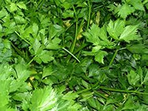 parsley italian dark green