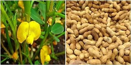 10 Perennial Peanut Grass Live Plants Pinto Ground Cover Yellow Flower Arachis
